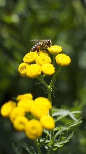 jardin pour pollinisateurs, création d'habitats pour insectes en ville, nourrir les abeilles, plantes mellifères
