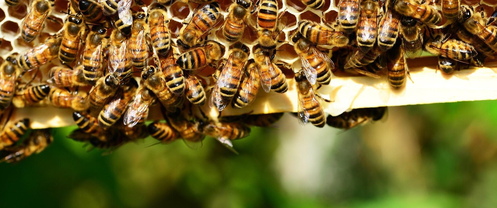 Bénévole pour les abeilles, aider la coop, promouvoir apiculture responsable