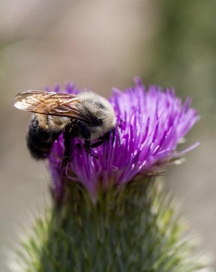 bourdon biodiversité autres pollinisateurs urbains