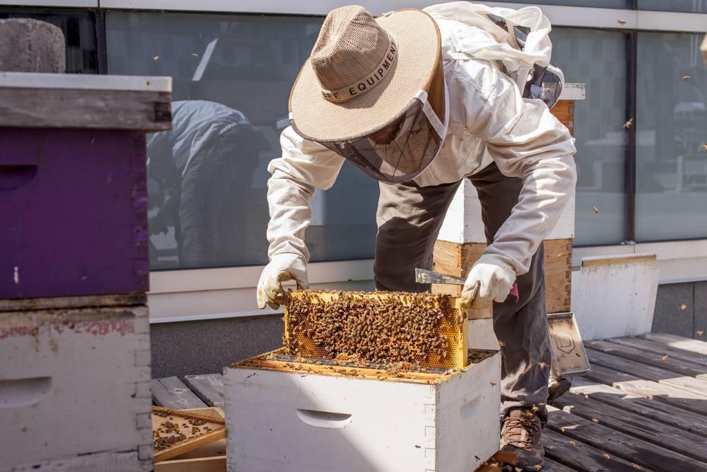 ruche, identification ponte, nymphe, œufs, abeille, santé ruche, vie abeille